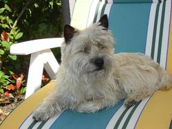 Harper, chien Cairn Terrier