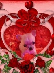 Harper, chien Chihuahua
