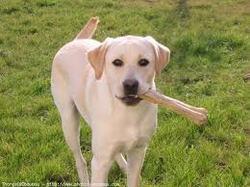 Harper, chien Akita américain