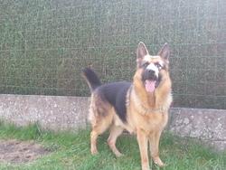 Harper, chien Berger allemand