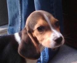 Harper, chien Beagle
