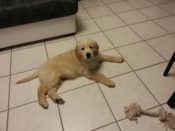 Harper, chien Golden Retriever