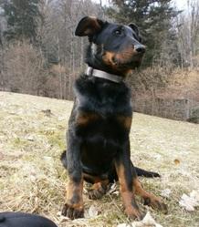Harpo, chien Beauceron