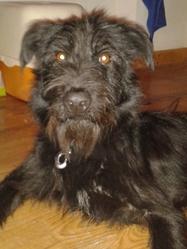 Harrison, chien Berger belge