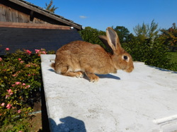 Harry, rongeur Lapin
