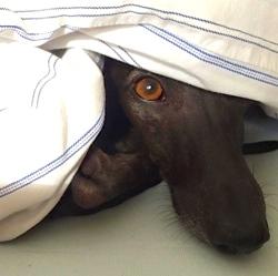 Harry, chien Petit Lévrier italien