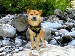Harry, chien Shiba Inu