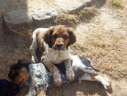 Harry, chien Épagneul breton