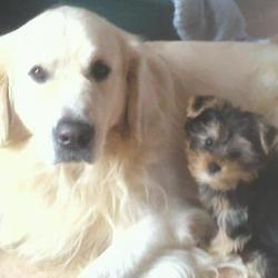 Harry, chien Yorkshire Terrier