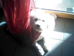 Harry, chien Bichon à poil frisé