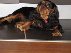 Harry, chien Cavalier King Charles Spaniel