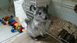 Harry, rongeur Chinchilla