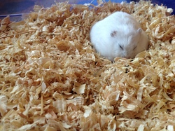 Harry, rongeur Hamster