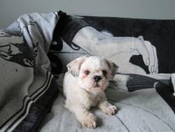 Harry, chien Shih Tzu