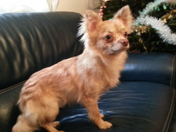 Harry, chien Chihuahua