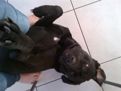 Harry , chien Cane Corso