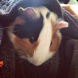 Harry, rongeur Cochon d'Inde