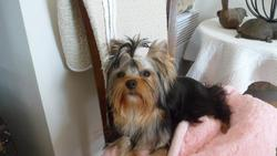 Harry'Bo, chien Yorkshire Terrier