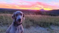 Harryson, chien Braque de Weimar