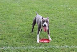 Hartos, chien American Staffordshire Terrier