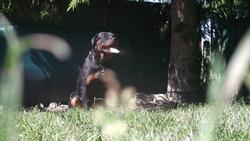 Hartz, chien Rottweiler