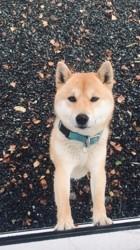 Haru, chien Shiba Inu