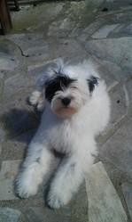 Harvey, chien Terrier tibétain