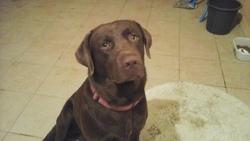 Harvey, chien Labrador Retriever