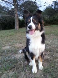 Harya, chien Berger australien