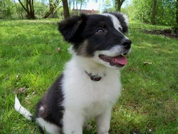 Harya, chien Border Collie