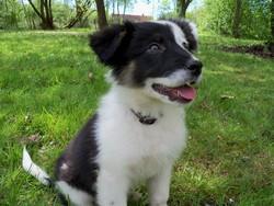 Harya, chien Border Collie