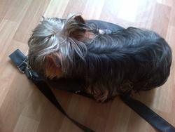 Hasco, chien Yorkshire Terrier