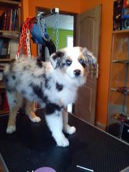 Hashka, chien Berger australien