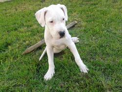 Hashra, chien Dogue argentin