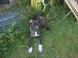 Hasia, chien Cane Corso