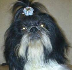 Hasia, chien Shih Tzu