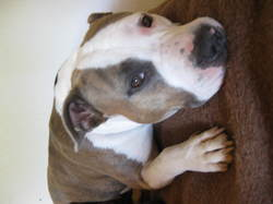 Hasia, chien American Staffordshire Terrier