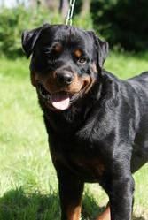 Hasko Vom Hause Bonnier, chien Rottweiler