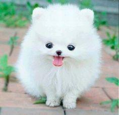 Haska, chien