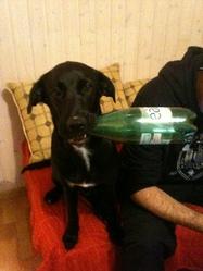Haska, chien Labrador Retriever