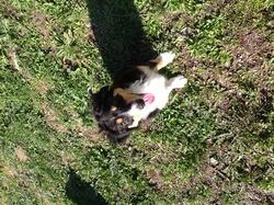 Haska, chien Berger australien