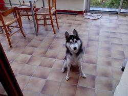 Haska, chien Husky sibérien