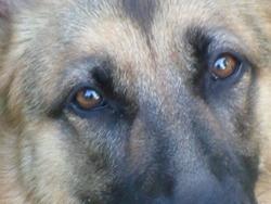 Haska, chien Berger allemand