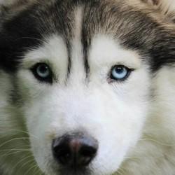 Haskan, chien Husky sibérien