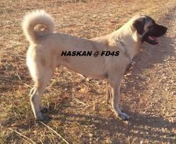 Haskan Fd4s, chien Berger d'Anatolie