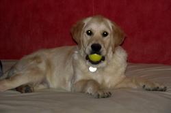 Hasko, chien Golden Retriever