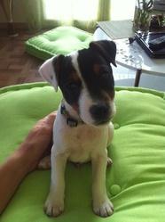 Hasko, chien Parson Russell Terrier