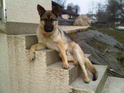 Hasko, chien Berger allemand