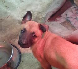 Hasko, chien Berger belge