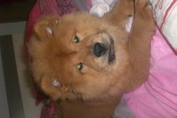 Hasko, chien Chow-Chow